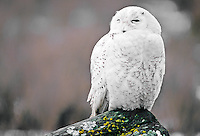 Snowy Owl, British Columbia, Canada