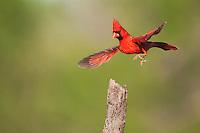 Northern Cardinal (Cardinalis cardinalis), male landing, Sinton, Corpus Christi, Coastal Bend, Texas, USA