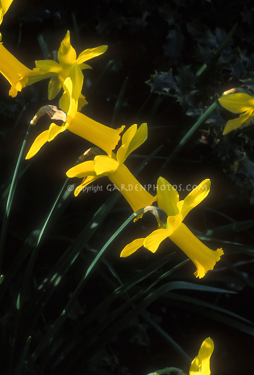 Narcissus Peeping Tom yellow Daffodils bulbs Division 6 in flower in spring flowers