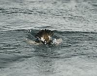 Storm Petrel - Hydrobates pelagicus