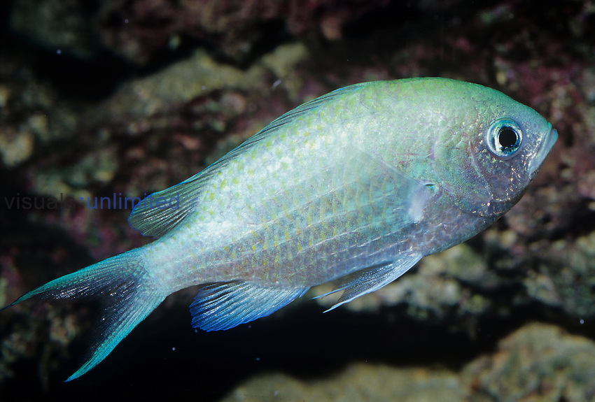 Green Chromis (Chromis viridis), Reefs from the Red Sea to Indonesia.