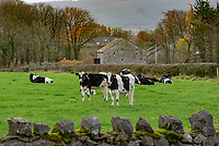 Dairy heifer near Whitewell, Clitheroe, Lancashire.