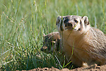 badger, (Taxidea taxus), pair at den, summer, Rocky Mountain National Park, Colorado, USA, wildlife, carnivore