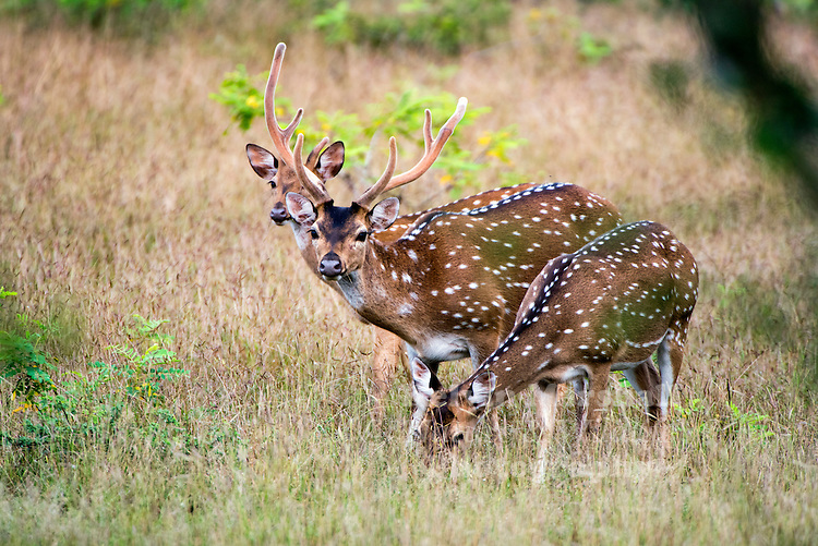Spotted deer or the Chital deer (Cervus axis) is native to India and Sri Lanka. Wilpattu National Park - Sri Lanka.
