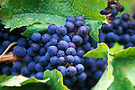 Merlot Grapes, Okanagan Valley, BC