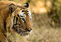Tiger male (Panthera tigris tigris), head shot, Bandhavgarh National Park, India, February 2013