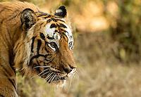 Tiger male (Panthera tigris tigris), head shot, Bandhavgarh National Park, India, February 2013