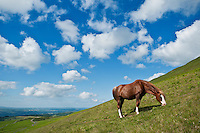 Welsh mountain pony feeds on hillside at Hay Bluff, Brecon Beacons national park, Wales