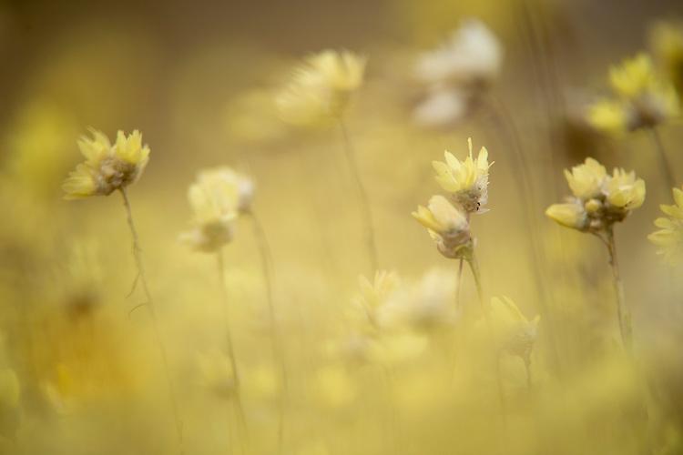 Wild flowers near to the Sinosteel iron ore mine close to Morowa, Western Australia.