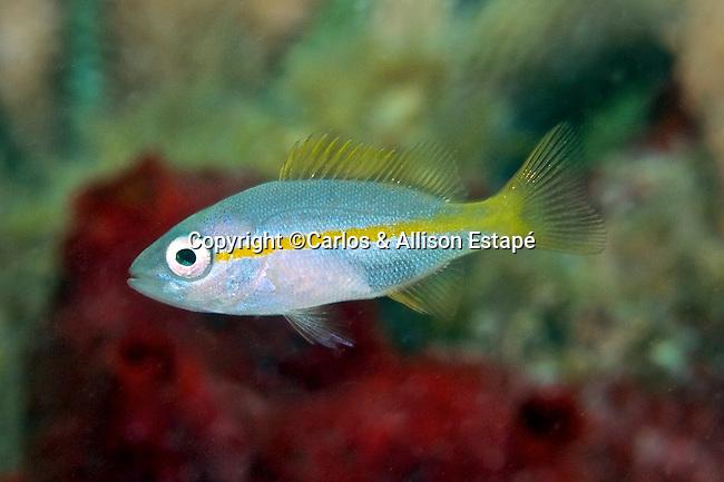 Ocyurus chrysurus, Yellowtail snapper, juvenile, Florida Keys