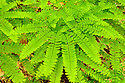 A rich soil indicator species, Maidenhair Fern is a bit picky about where it sinks roots.