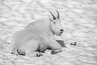 Chillin' Goat