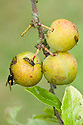 Wasps and other insects find gages - and indeed all plums - irresistible, mid August.