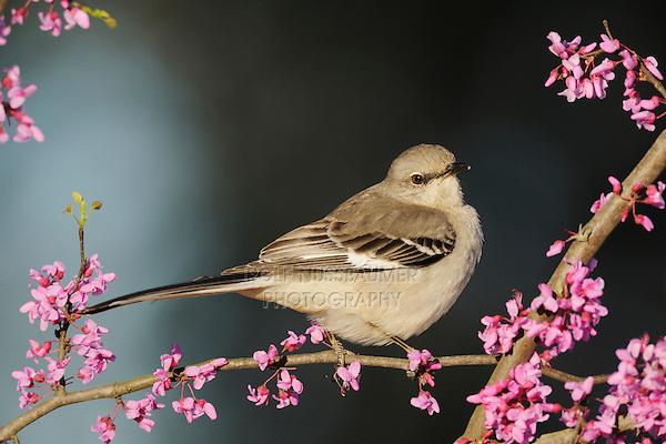 Northern Mockingbird (Mimus polyglottos), adult on Eastern Redbud (Cercis canadensis), Dinero, Lake Corpus Christi, South Texas, USA