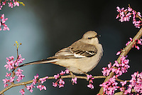 Northern Mockingbird (Mimus polyglottos), adult on Eastern Redbud (Cercis canadensis), Dinero, Lake Corpus Christi, South Texas, USA