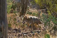Coyote (Canis latrans) in Southwestern desert.