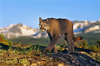 Mountain Lion or cougar walking ridge top in Northern Rockies (mountains in background are in Glacier National Park).  June.
