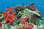 Clarke's Anemonefish, Amphiprion clarkii, Pacific Harbor, Viti Levu, Fiji.