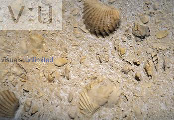 External mold of a Ribbed Clam and other fossil fragments, Cretaceous Period, 100 m.y.a.