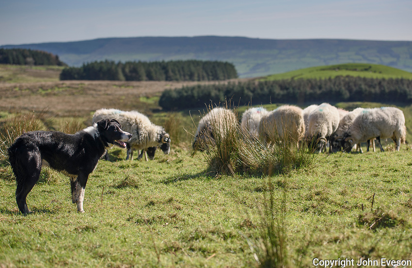 Border Collie sheepdog with Swaledale ewes on a hillside, Chipping, Lancashire.