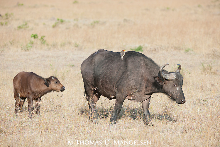 A cape buffalo follows its mother on the grassy plain in Masai Mara, Kenya.
