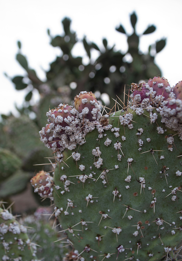 Cochinilla which attacks the Nopal cactus, when crushed, turns into a purple pulp.  This has been used as a natural dye for textiles and painting since pre-hispanic times.