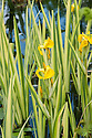 Iris pseudacorus 'Variegata', late May. A variegated form of the British native yellow flag iris, with creamy-yellow and green striped leaves in spring. The variegation slowly fades back to green as the typical yellow Iris flowers appear in early summer.