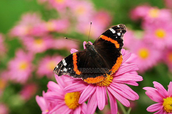 Red Admiral (Vanessa atalanta), adult on Gerbera Daisy (Gerbera sp.), Comal County, Hill Country, Central Texas, USA