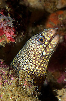 Jewel Moray (Muraena lentiginosa) Eel on a reef in Costa Rica
