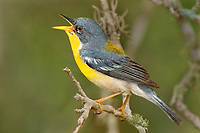 561010012 tropical parula setophaga pitiayumi  - was parula pitiayumi - a wild male perched on branch singing in kenedy county texas