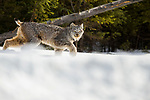 Canada Lynx (Lynx canadensis) eleven month old female kitten in winter, Manitoba, Canada