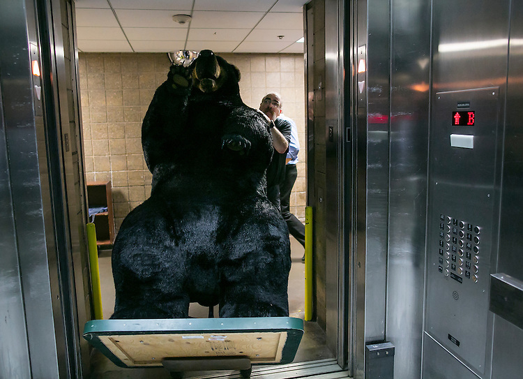 UNITED STATES - JUNE 16 - Bob Spoerl, a Land Agent from the New Hampshire Division of Forest and Lands, pushes a stuffed into an elevator of the Hart Senate Office building on Tuesday, June 16, 2015 in Washington D.C. A stuffed moose and bear were brought in for the Experience New Hampshire event, hosted by Sen. Jeanne Shaheen, D-N.H., which features dozens of local New Hampshire food to be sampled by members of Congress. (Photo By Al Drago/CQ Roll Call)