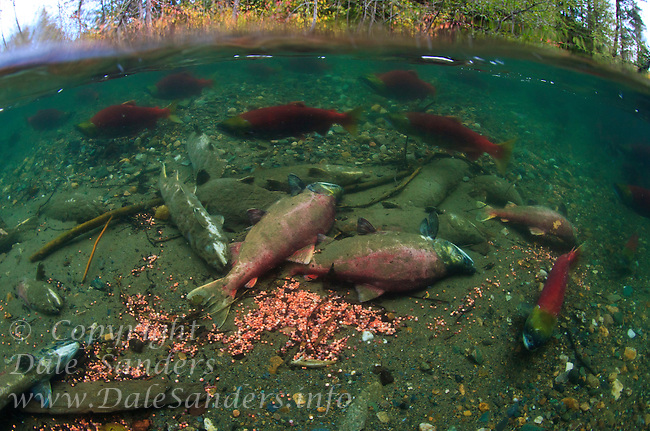 Sockeye Salmon ( Oncorhynchus nerka) spawn and then die, leaving their eggs to hatch and start natures cycle over again in the Adams River,  British Columbia, Canada.