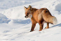 A red fox turns around to give a disapproving look.