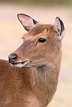Sika deer portrait, Assateague National Wildlife Refuge, Virginia, USA