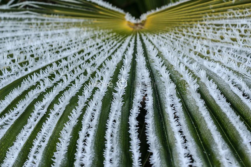 givre sur une feuille de palmier de Chine, Trachycarpus fortunei // frost on leaf of Chusan palm, Trachycarpus fortunei