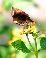 Sickle-winged skipper on lantana