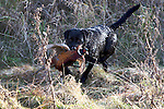 Pix: Shaun Flannery/sf-pictures.com..COPYRIGHT PICTURE>>SHAUN FLANNERY>01302-570814>>07778315553>>..19th December 2008...............Loversall 'game shoot' in Doncaster, South Yorkshire..A black Labrador attempts to catch a 'wounded' Pheasant.