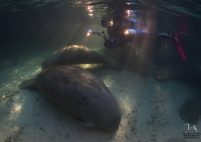 Photographer with manatees at sunrise