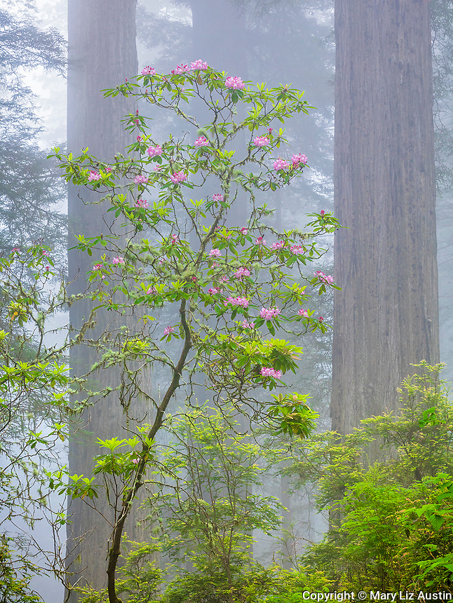 Redwood National Park, CA:  Flowering Pacific rhododendron (R. macrophyllum) in Redwood forest understory in fog on Damnation Creek Trail