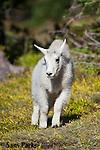 Mountain goat kid. Glacier National Park, Montana.