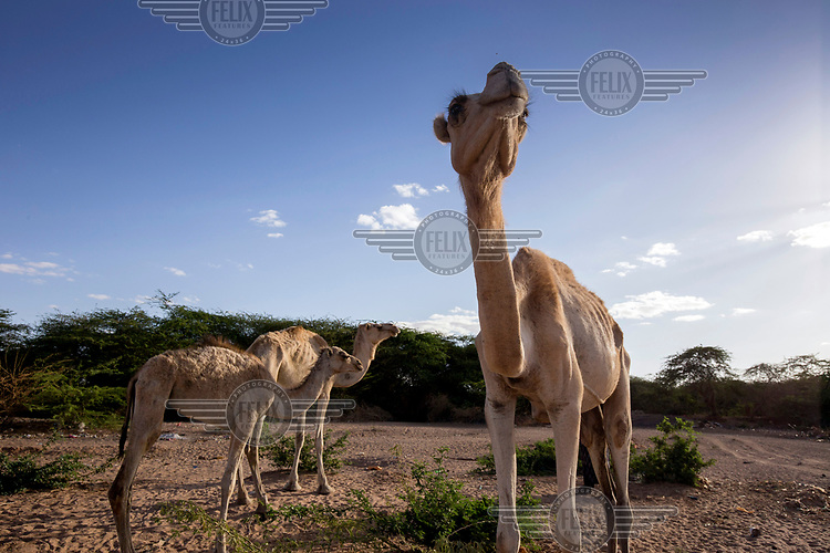 Camels are desperate for food and water.<br /> The Horn of Africa is experiencing a devastating drought with over 11m people threatened by famine.