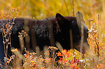Black Bear Cub, Close Portrait, Roosevelt Lodge, Yellowstone National Park, Wyoming