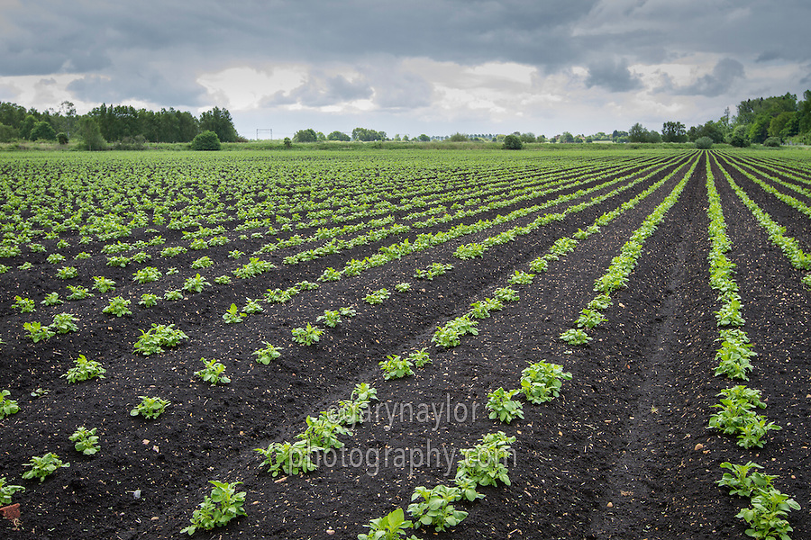 Potatoes growing in beds on the black fen soils of Cambridgeshire - June