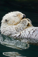 Sea Otter (Enhydra lutris) sleeping.