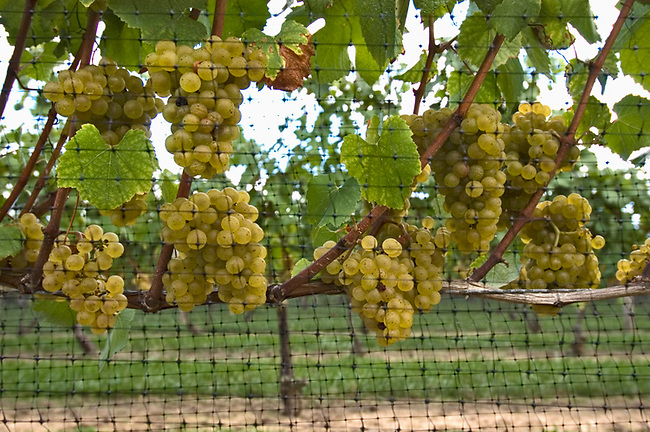 Gewurztraminer grapes on Long Island's North Fork