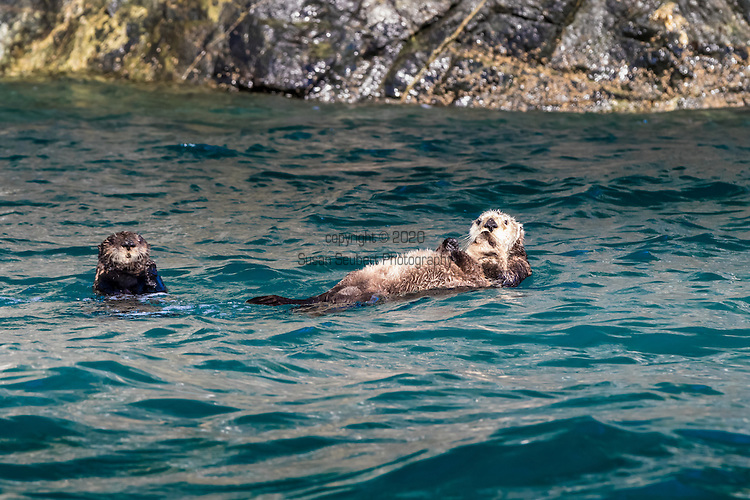 A Sea Otter and her baby in the Inian Islands, Alaska's Inside Passage, Alaska, USA