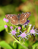 Female tropical checkered-skipper