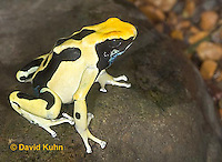 "1028-07mm  Dendrobates tinctorius ñ Dyeing Poison Arrow Frog ""Giant Orange Morph"" ñ Tincs Dart Frog  © David Kuhn/Dwight Kuhn Photography"