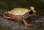 Variable Clown Treefrog, Hyla triangulum, Iquitos, Peru, jungle, amazon, dark hour glass mark on the dorsum, back, yellow, red, puffed up, inflated with air, defensive, on leaf. .South America....